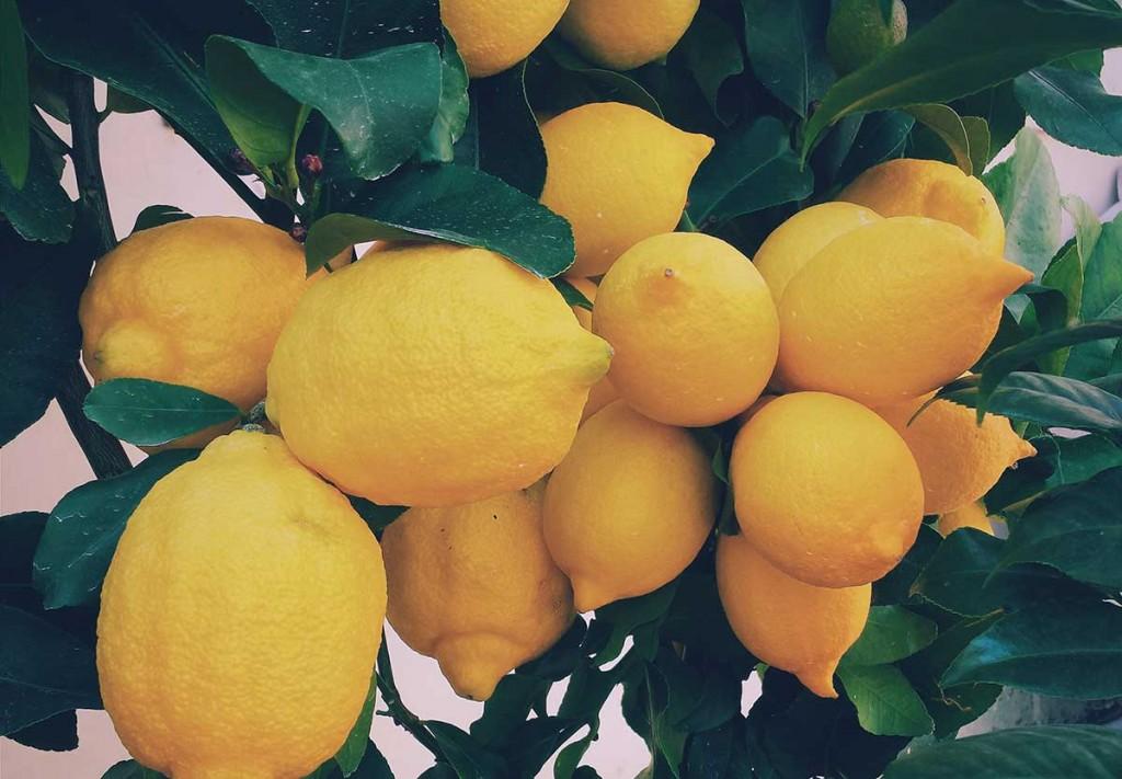 fresh lemons attached lemon tree